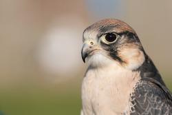 Bird of Prey gazing intensely towards prey
