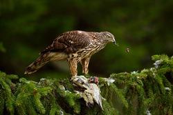 Bird of prey Goshawk kill green woodpecker on the green spruce tree. Feeding scene with bird and catch. Hawk from Czech Reublic. Wildlife scene from nature.