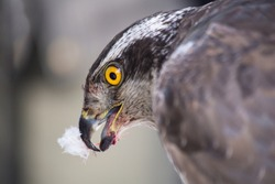 bird of prey hawk eating its prey