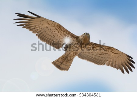 Bird of prey in flight on blue sky clouds background. \nLow angle view of Short-toed snake eagle (Circaetus gallicus) flying in blue sky with sun ray