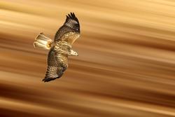 Bird of prey. Isolated  bird. Brown yellow motion blur background. Long legged Buzzard. Buteo rufinus.