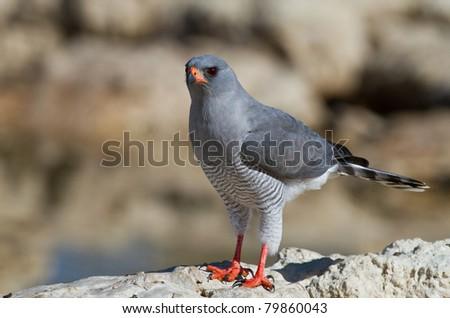 bird of prey kalahari