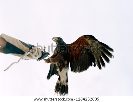 Bird of prey landing on a falconers gloved hand. #1284252805