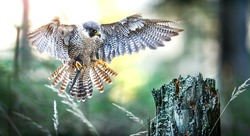 Bird of prey Peregrine Falcon spred wings, Falco peregrinus in fly.