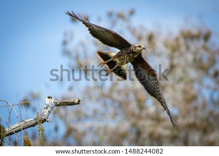 Bird Of Prey Taking off From Perch in the Everglades