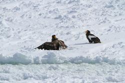 Bird of prey. The Steller's sea eagle (Haliaeetus pelagicus) on drift ice at okhotsk sea of Abashiri, Hokkaido, Japan. Sea eagle in winter. (Bird behavior, Bird in the winter)