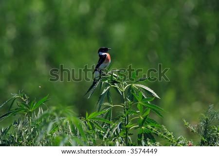 Bird on a hemp