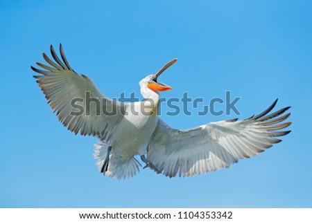 Stock Photo Bird on the blue sky. Bird with open bill, funny image. Dalmatian pelican, Pelecanus crispus, in Lake Kerkini, Greece. Pelican with open wings, hunting animal. Wildlife scene from European nature.