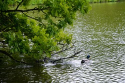 Bird on the shore of the lake. Beautiful garden with lake Kleinhesseloher and lots of greenery, Munich, Germany, English Garden