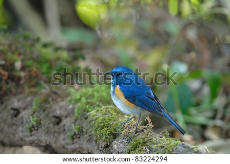 Bird (Orange-flanked Bush-Robin) , Thailand - stock photo