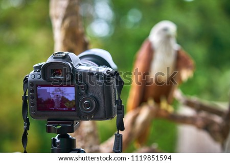 Bird Photographer takes injured Brahminy kite, Red-backed sea-eagle (this bird Scientific name : Haliastur indus ) picture by dslr camera on sunnyday in Trad of Thailand