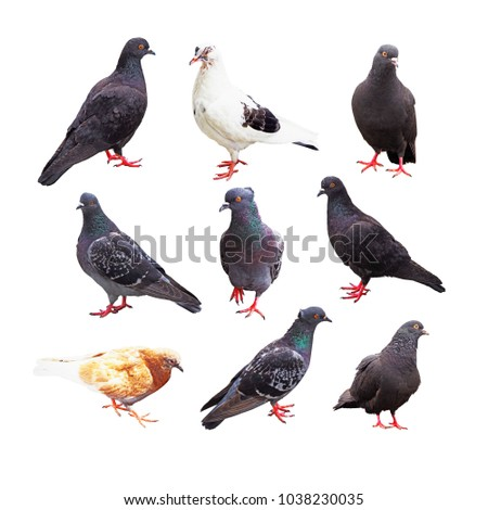 Bird pigeon poses. Collection of doves isolated on white background #1038230035