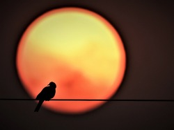 Bird(Pigeon) sitting on transmission line with sun in the background. This picture  was taken in the early morning.