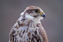 Bird portrait. Gyrfalcon, Falco rusticolus, bird of prey fly. Close-up rare bird with white grey head. Forest in cold winter, animal in nature habitat, Russia. Wildlife scene nature. Falcon detail.