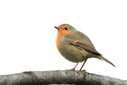 bird Robin sitting on tree isolated on white background