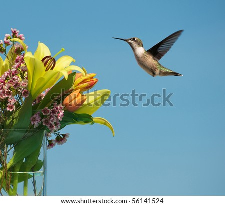 Bird, Ruby throat hummingbird, female,  in motion approaching a lovely bouquet of Spring flowers in the sunshine.