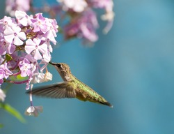 Bird. Ruby throat hummingbird, female,  in motion drinking nectar from Phlox flowers.