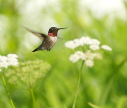 Bird, ruby throat hummingbird, male,  in motion surrounded by flowers showing his brilliant red throat.