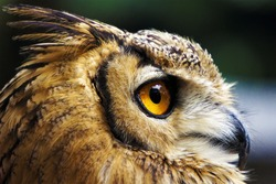 Bird's-Eye View. A close-up photo of a owl.