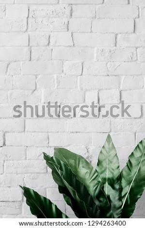 Bird's-nest fern on white brick wall