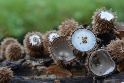 Bird's nest fungus or Cyathus striatus, an unusual looking mushroom in different stages of development in natural habitat on rotting wood besides mountain creek