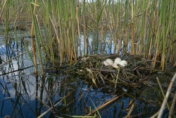 Bird's Nest Guide. Nidology. Slavonian grebe (Podiceps auritus) floating nest in reed beds of southern eutrophic lake with abundance of common reed (Phragmites australis)