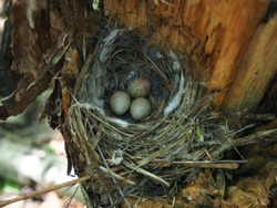 Bird's Nest in the Woods on a Tree with Eggs