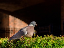 Bird sat on the hedge in the sunshine pigeon
