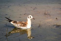 Bird seagull swims in the water.
