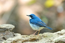 Bird (Siberian Blue Robin) , Thailand