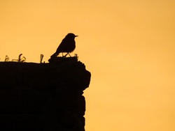 Bird silhouette sitting on a brick wall with golden yellow sky in background background and pieces of glass on wall. Situation of birds in cities today. No place for them to sit.