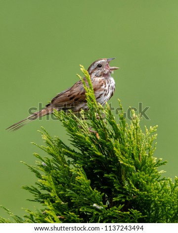 Bird Singing Song - Song Sparrow (Melospiza Melodia) Lovely sparrow singing his song in my garden.