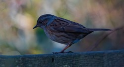 bird sitting on brown fence  against colored blurred  background.