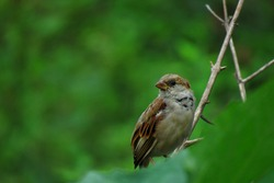 Bird sitting on the branch,Sparrow bird on the green background.