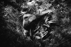 Bird skeleton with brown and white streaked feathers lying next to a rock on the shaded forest floor on an island located in the Gulf of Finland. Ribs, limb bones. Wings still have feathers atteched.