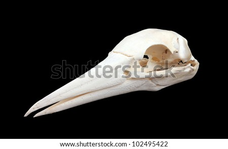 Bird skull of a big seabird, isolated on black