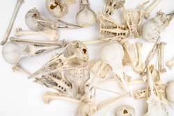 bird skulls and bones on white background. Copy space. no people. Zoology, craniology concept