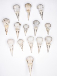 bird skulls on white background. Copy space. no people. top view. flat lay. Zoology, craniology concept