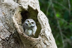 Bird, Spotted owl, in nature, Thailand.