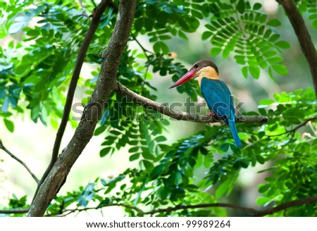 Bird, Stork-billed Kingfisher, Perched on Tree branch, green leaves, waiting patiently, copy space, out of focus background