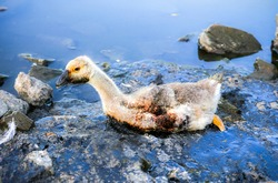 Bird stuck in polluted water with tar. Dying animals in industrial wastes. Dirty rivers and oceans with oil. Small goose in danger. Environmental problem. Harmful human. Ecological disaster.