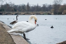 Bird swan and goose in the park at English garden and Diana Princess of Wales Memorial Fountain