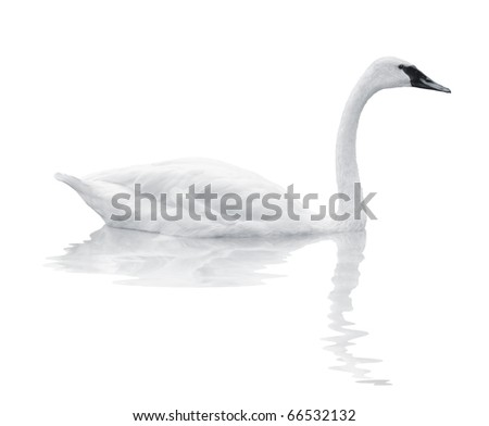 Bird swan swims on a white background
