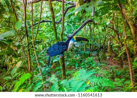 Bird Toucan living in the jungles of the Amazon. Ecuador. The toucan sits on a branch. Birds of Ecuador. Toucan. Forest of the Amazon.