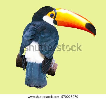 Shutterstock Bird toucan  sitting back on a branch isolated on yellow  Also known as the common toucan or toucan Toco.