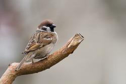 bird - tree sparrow