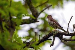 Bird Turdus philomelos bird in wild nature.