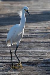 bird walking on the peer