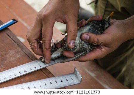 Bird watching, data collection, statistics, scientific research. A small bird is measured with a ruler. The tanned hands of the researcher. The background is blurred.