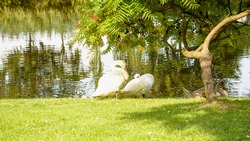 Bird, white swan, lake, water, bird on the lake, swan in the water, waterfowl, vacation, love romance, joy, vacation, big bird, summer, spring